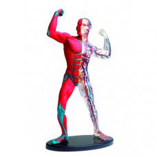 Edu-Toys Анатомический набор SK056
